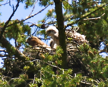 May 29, 2012 Redtailed hawk chicks with their mother on the nest