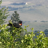 May 11, 2012 - Red-winged blackbird at Emigrant Lake, Oregon