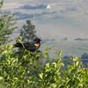May 11, 2012 - Red-winged blackbird at Emigrant Lake, Oregon