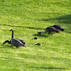 May 11, 2012 - Canada geese at Emigrant Lake, Oregon