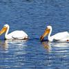 May 7, 2012.  White Pelicans in Hyatt Lake, Oregon.