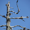 May 7, 2012.  Double-crested cormorant breeding tree in Hyatt Lake, Oregon.