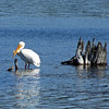 May 7, 2012.  White Pelicans in Hyatt Lake, Oregon.