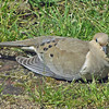 May 3, 2012 - Morning dove in my backyard, Medford, Oregon