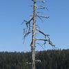 May 7, 2012.  Double-crested cormorant breeding tree in Hyatt Lake, Oregon.