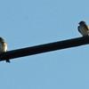May 11, 2012 - Swallows at Emigrant Lake, Oregon