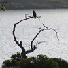 May 11, 2012 - Juvenile bald eagle at Emigrant Lake, Oregon