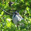 May 11, 2012 - Scrub jay at Emigrant Lake, Oregon