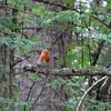 June 20, 2013.  European robin in Loch Lomond & The Trossachs National Park, Scotland.