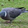 June 16, 2013.  Wood pigeon in a cemetery in Edinburgh, Scotland.