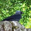 June 19, 2013.  Western Jackdaw at Rosslyn Chapel; Roslin, Scotland.