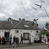 June 18, 2013. Black Headed Gulls in Pitlochry, Scotland.