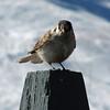 February 10, 2013.  Gray Jay at Mt. Ashland Ski Area, Oregon.