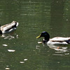 May 12, 2013.  Mallards at the duck pond in Lithia Park, Ashland, OR.