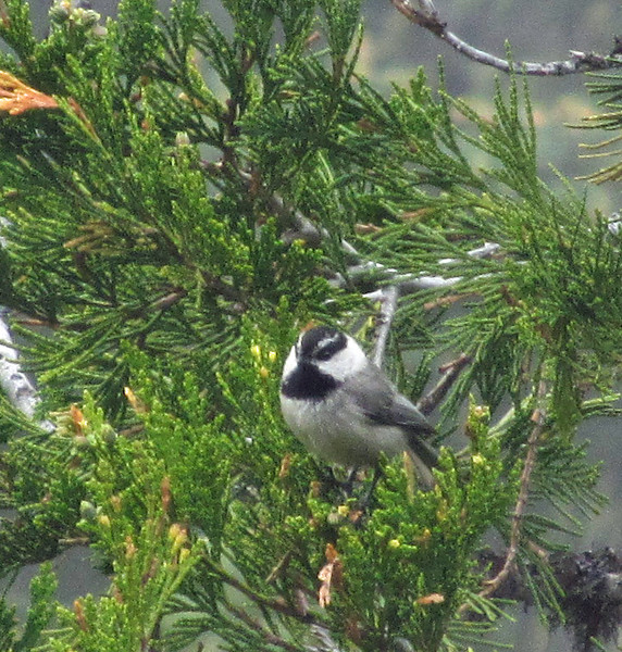 May 24, 2014.  Mountain Chickadee at Pilot Rock in Cascade-Siskiyou NM, Oregon.