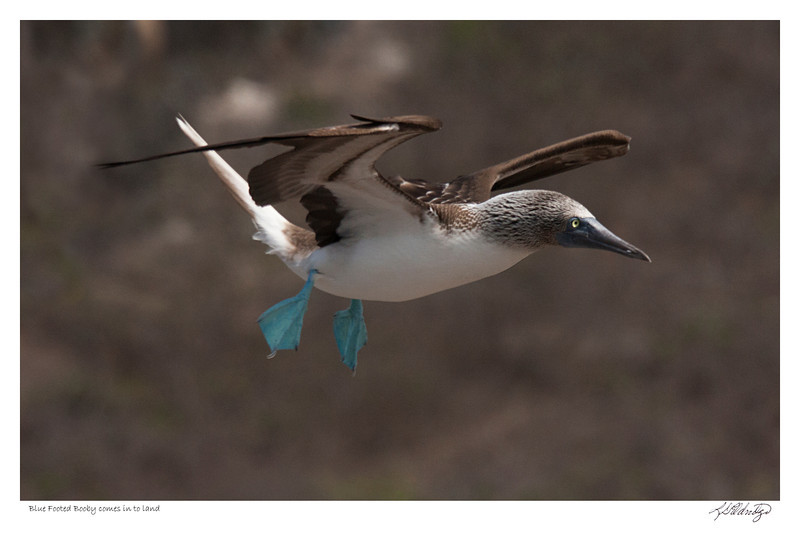 Blue Footed Booby comes in to land