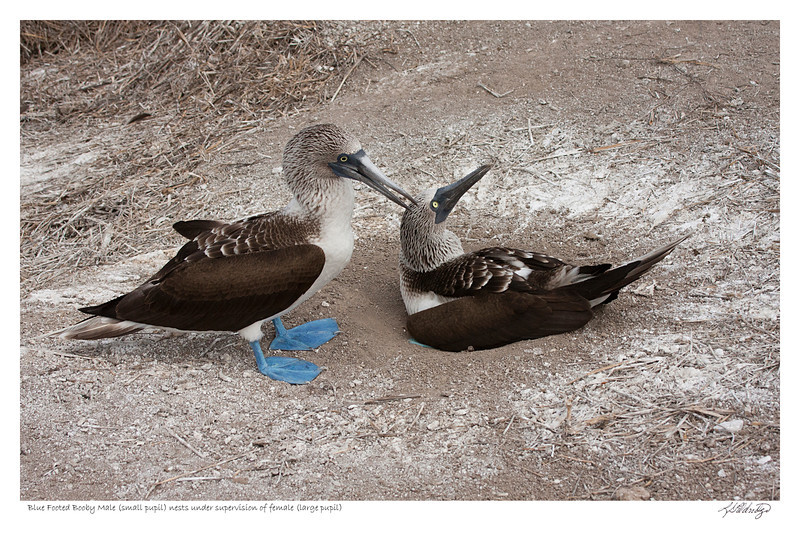 Male Blue Footed Booby nests while female supervises