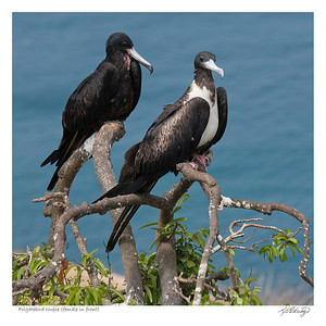 Magnificent Frigatebird.  Female in front, see the red throat on the male in the back?