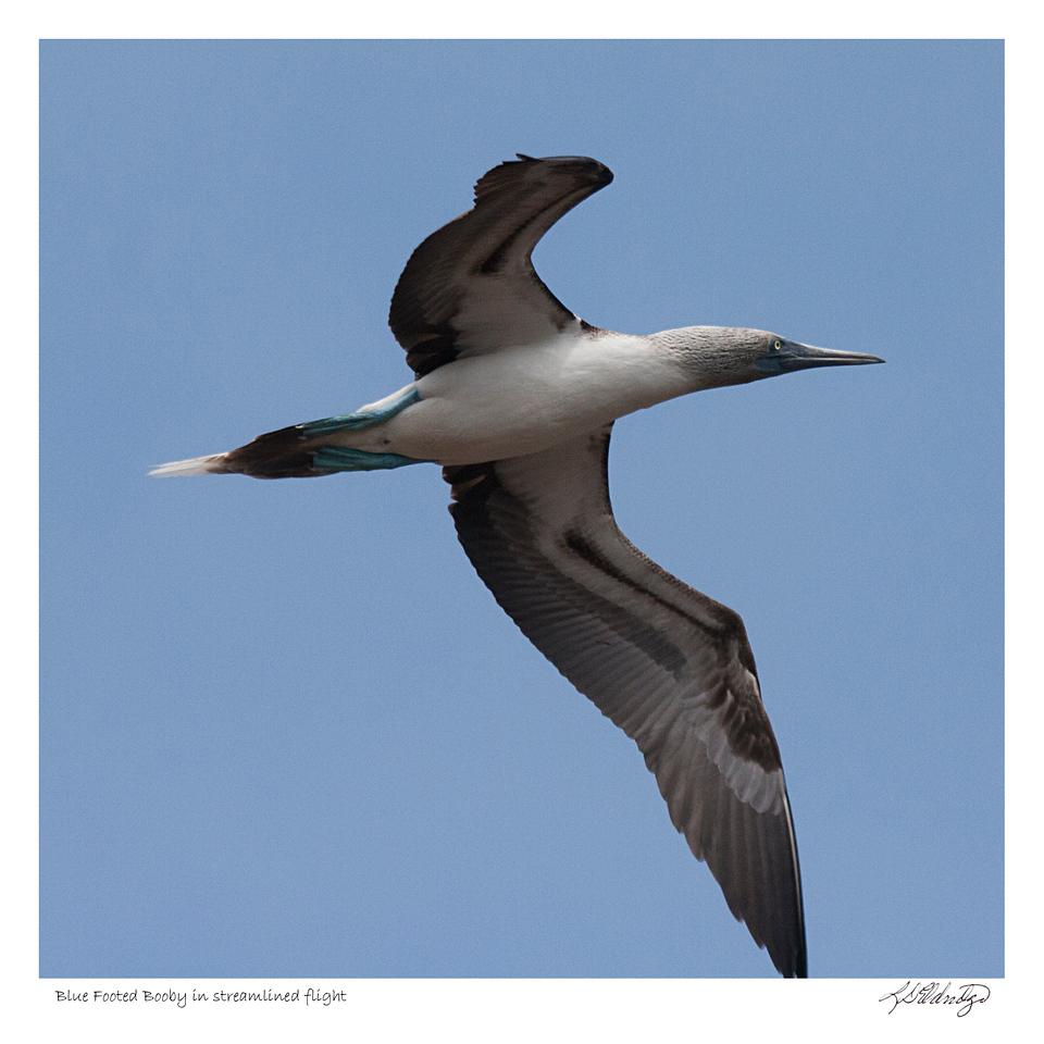 Blue Footed Booby in streamlined flight