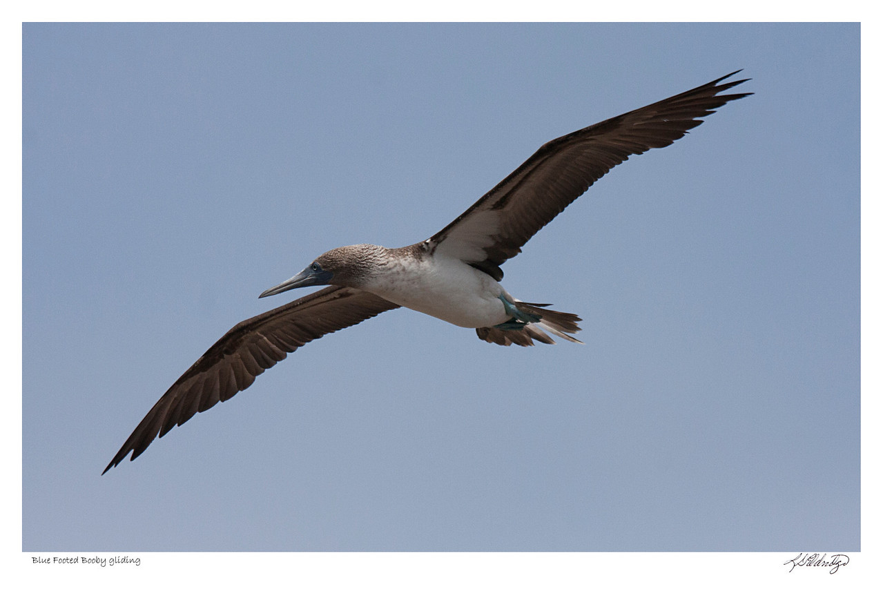 Blue Footed Booby gliding