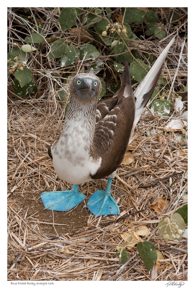 Blue Footed Booby looking straight at you