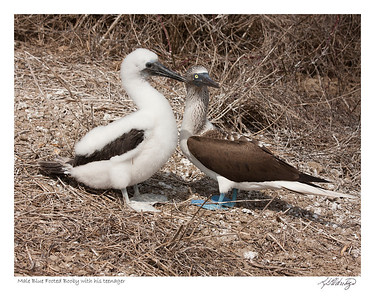 Male Blue Footed Booby with his teenager