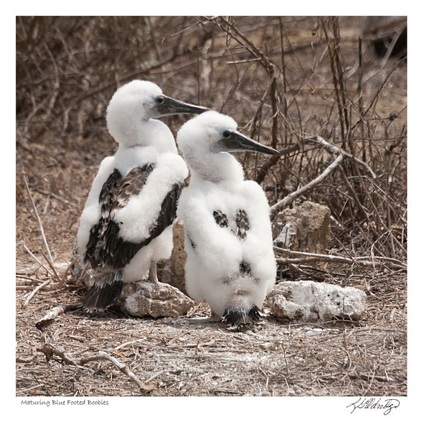 Maturing Blue Footed Boobies