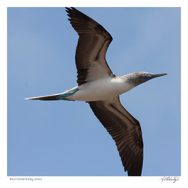 Blue Footed Booby soaring