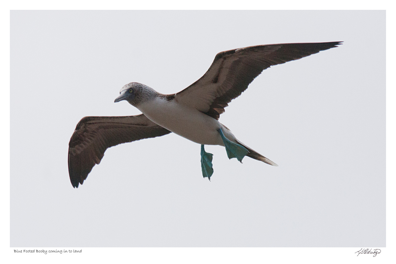 Blue Footed Booby coming to to land