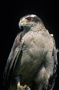 Northern Goshawk; Accipiter genitilis; Adult, controlled conditions