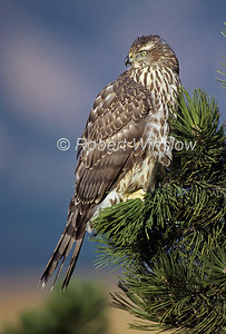 Northern Goshawk; Accipiter genitilis; One-Year Old; Female, Contolled Conditions