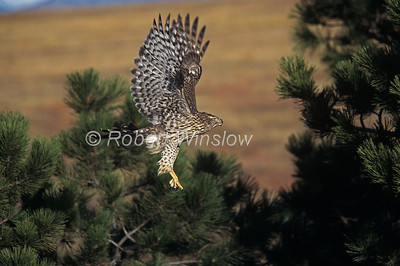 Northern Goshawk; Accipiter genitilis; One-Year Old; Female, Flying, Contolled Conditions
