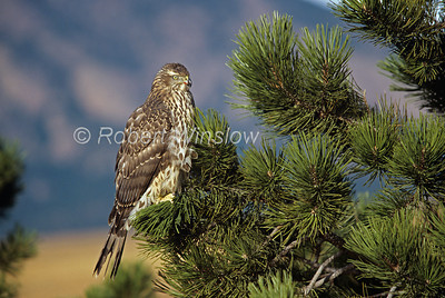 Northern Goshawk; Accipiter genitilis; One-Year Old; Female, Blood near its mounth from just having eaten, Contolled Conditions