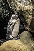 Juvenile African Penguin, Spheniscus demersus, Cape Province, Soutn Africa, Africa, Endangered Species