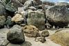 African Penguin, Spheniscus demersus, Cape Province, Soutn Africa, Africa, Protected area, Endangered Species