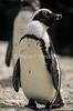 African Penguin, Spheniscus demersus, Cape Province, Soutn Africa, Africa, Endangered Species