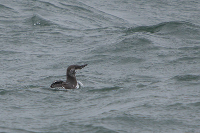 Common Murre, 2013