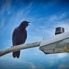 _002_american crow_03232021