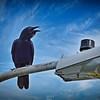 _001_american crow_03232021