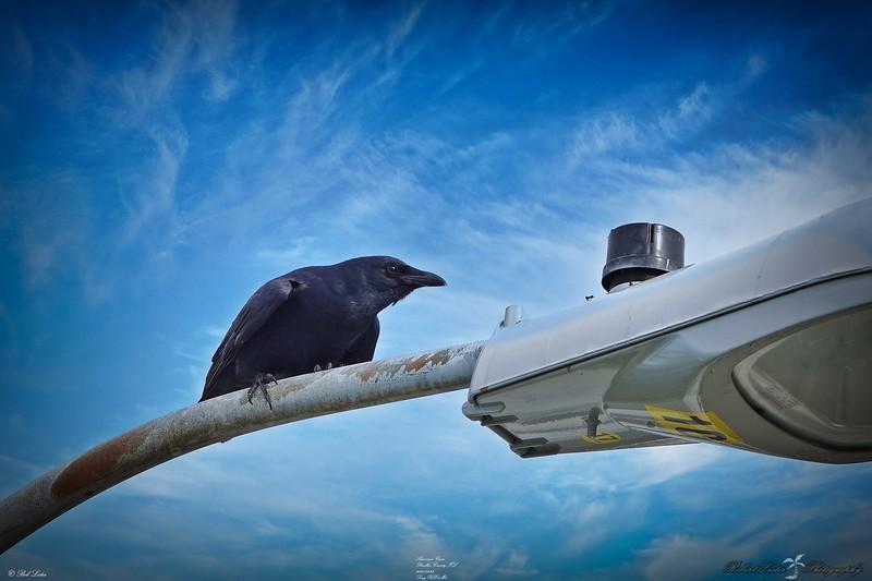 _003_american crow_03232021