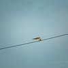 Kestrel,aircraft,StarlingBear,squirrel  (ambl,-)   2018-02-09-2090099