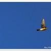 American Kestrel ... Clearwater,Florida...Nov. 14, 2011