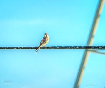 _B050004_ American kestrel falcon_ detailednr0