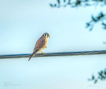 _B050015_ American kestrel falcon_ detailednr0
