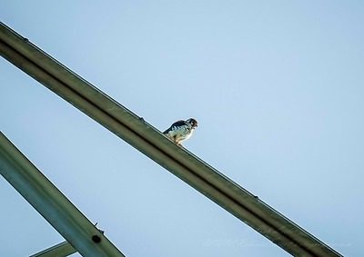 2019-07-14_0903 m1300apf4  American Kestrel Falcon__7140070_photographic