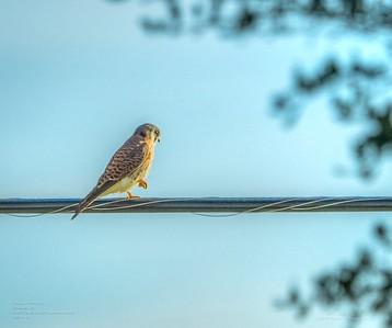 _B050008_ American kestrel falcon_ detailednr0