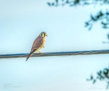 _B050013_ American kestrel falcon_ detailednr0