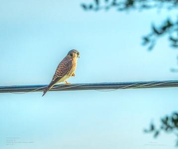 _B050010_ American kestrel falcon_ detailednr0