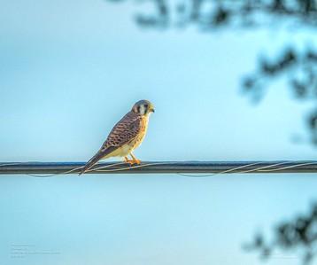 _B050006_ American kestrel falcon_ detailednr0