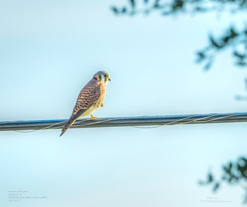 _B050012_ American kestrel falcon_ detailednr0
